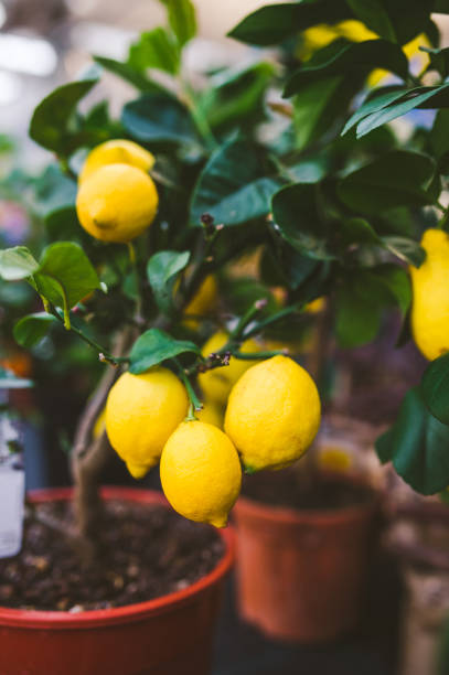 Zitronenbaum im Blumentopf – Foto