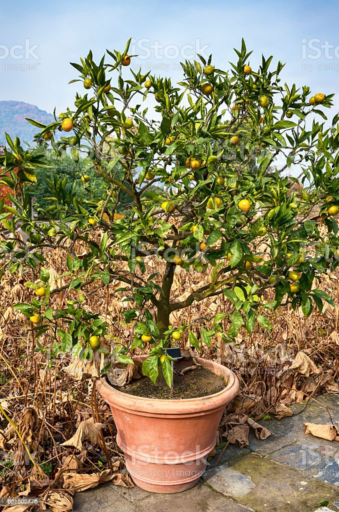 Lemon tree in flowerpot Lizenzfreies stock-foto