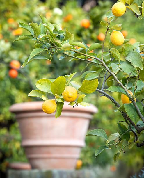 Lemon tree in Rom, Italien – Foto