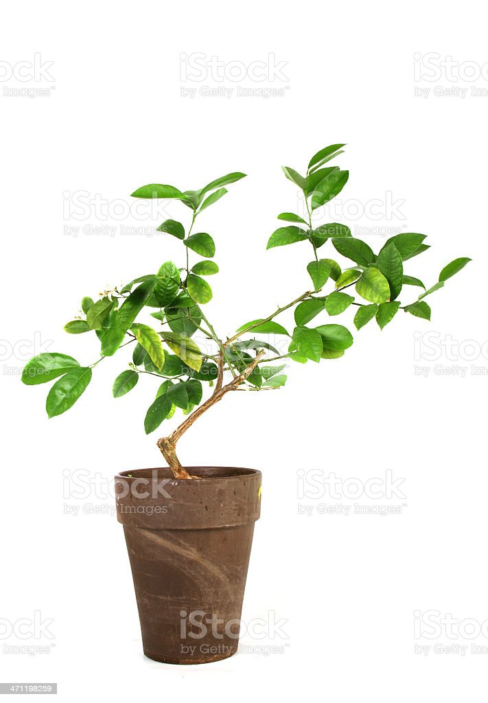 Lemon tree in the pot royalty-free stock photo