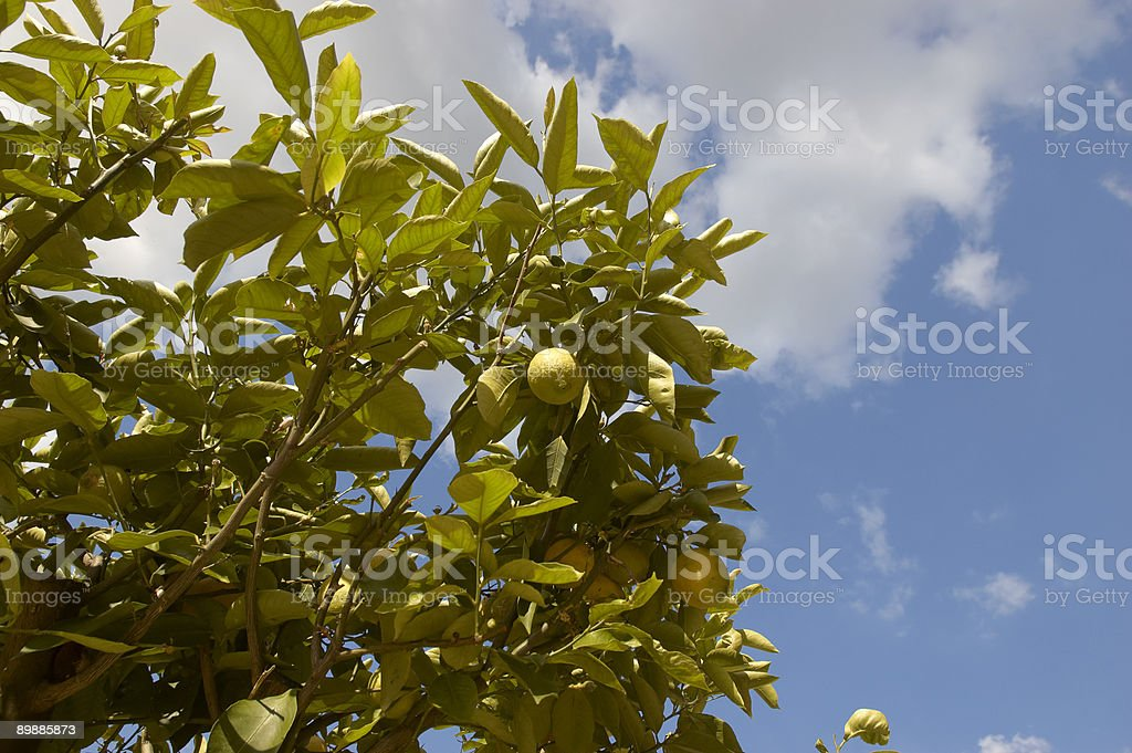 Albero di limone foto stock royalty-free