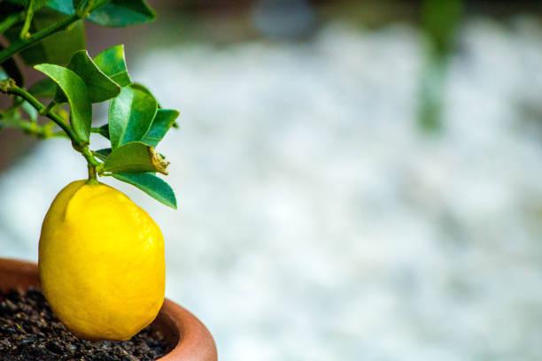 Lemon Tree - foto stock