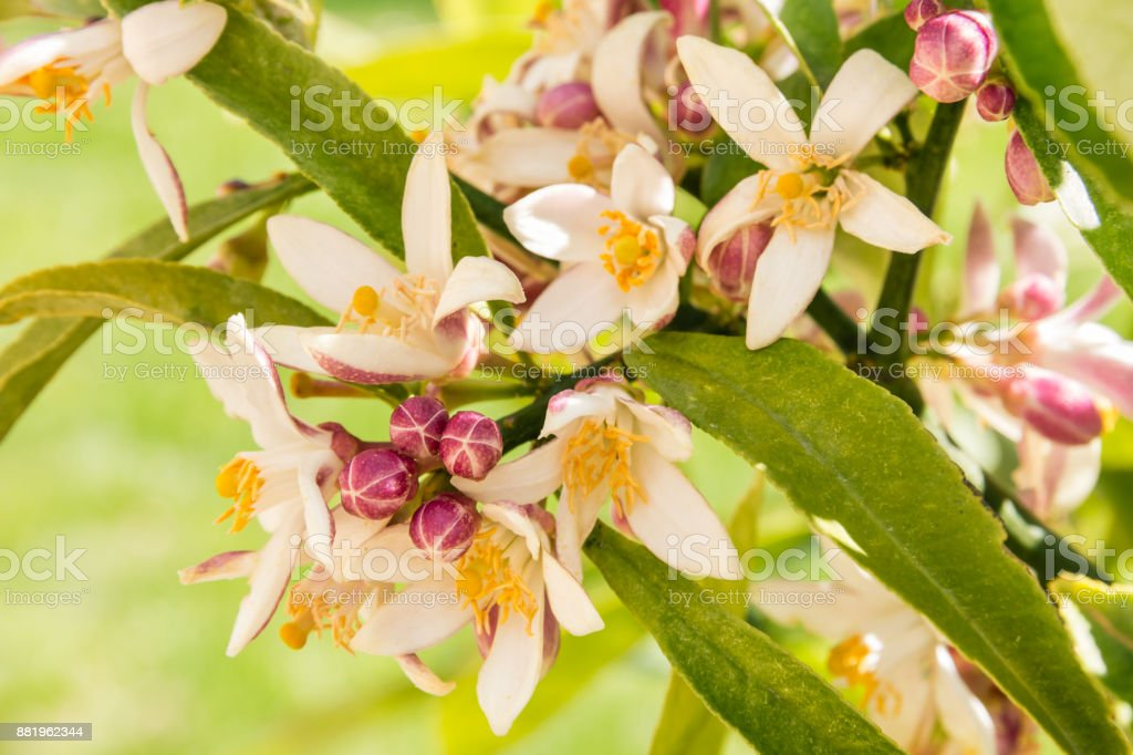 lemon tree with flowers and buds in bloom stock photo