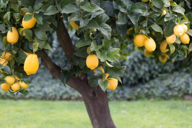 zitronenbaum mit reifen früchten drauf - wäldchen stock-fotos und bilder
