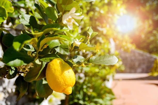 Zitronenbaum (Citrus Limon) mit reifen Früchten in einem italienischen Garten in der Nähe des Mittelmeers, Italien Europa – Foto