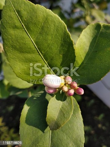 Image of lemon tree's buds. White and pink in colour