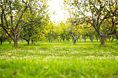 Yellow lemons, lemon trees, orchard, green grass and flowers on the ground.