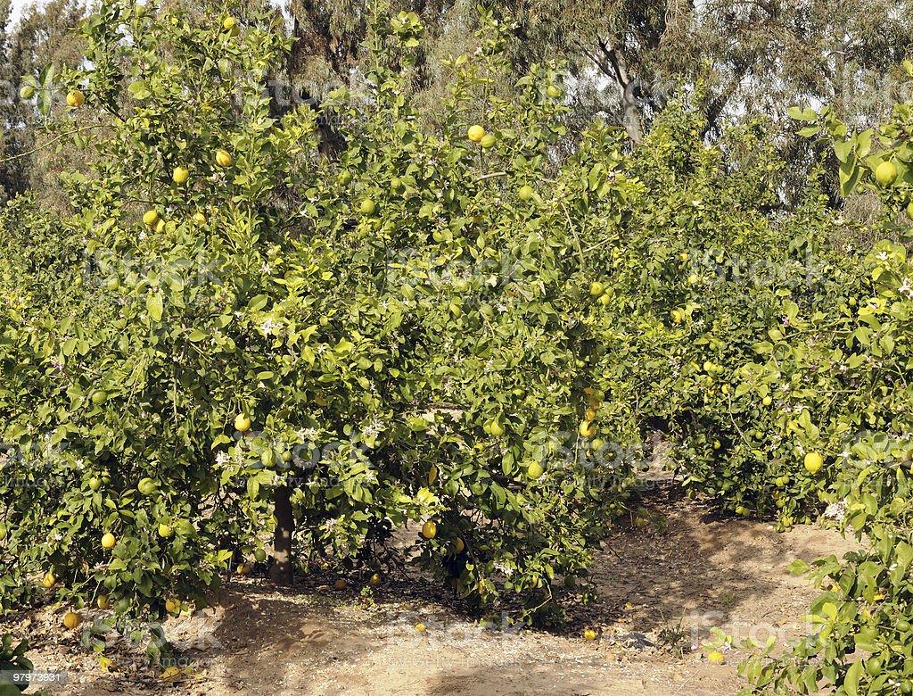 Lemon trees royalty-free stock photo