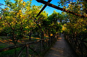 Lemon trees plantation, Sorrento, Amalfi Coast, Italy - future Limoncello