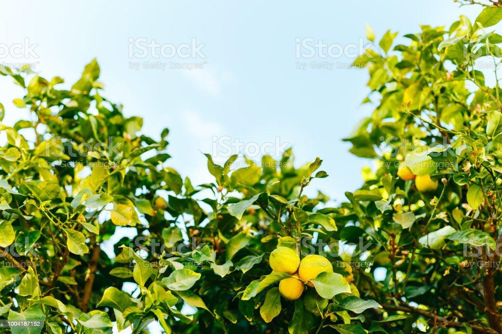 Lemon trees with sky stock photo