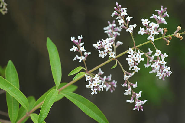 lemon verbena, Aloysia triphylla, branch with leaves and flowers stock photo