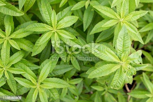 Lemon verbena - Aloysia triphylla, Lippia citirodora, Aloysia citriodora, Aloysia citrodora