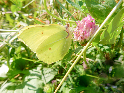 Lemongrass butterfly on pink clover flower on blurred summer background. High quality photo