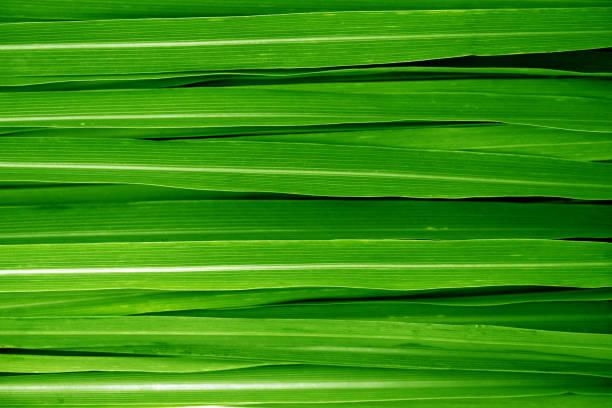 Lemongrass leaves background stock photo