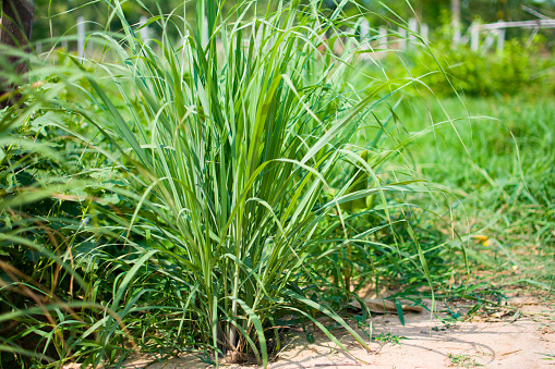 istock Lemongrass or Lapine or Lemon grass or West Indian or Cymbopogon citratus were planted on the ground 1145780906