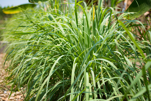 istock Lemongrass or Lapine or Lemon grass or West Indian or Cymbopogon citratus were planted on the ground 951825380