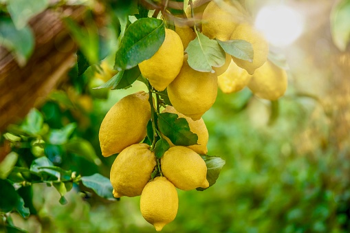 Lemons growing in summer sunshine, on a tree in Italy.
