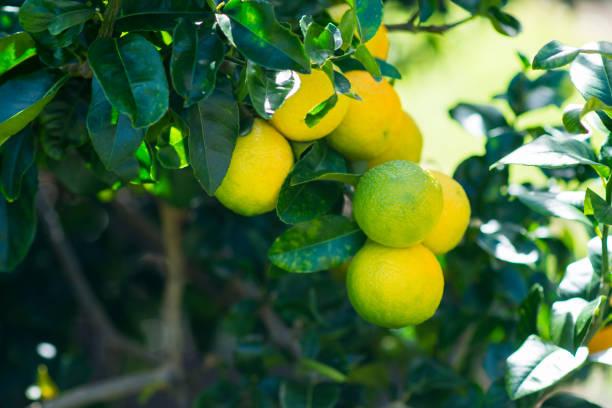 Lemons Growing on a Tree stock photo