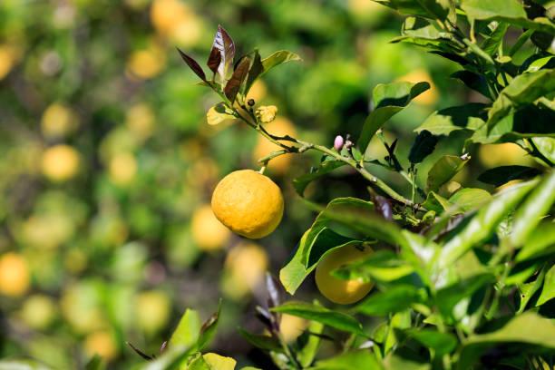 Lemons growing on tree. stock photo
