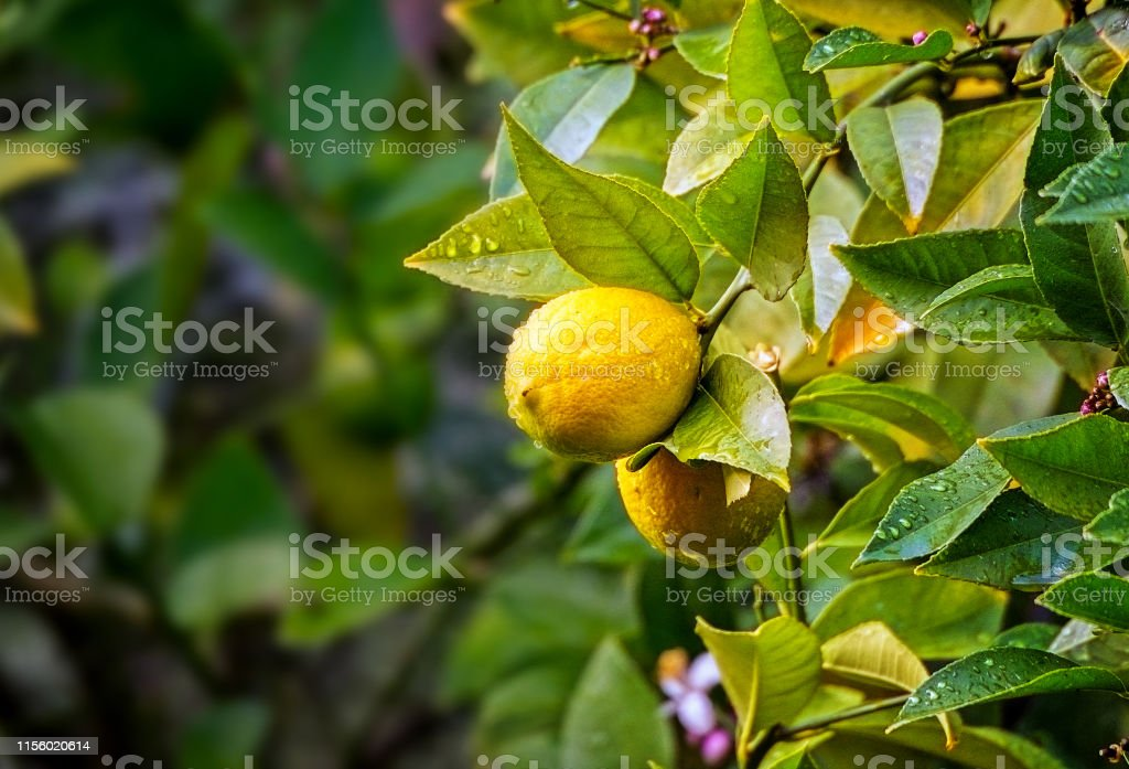Lemons Growing - Royalty-free Agriculture Stock Photo