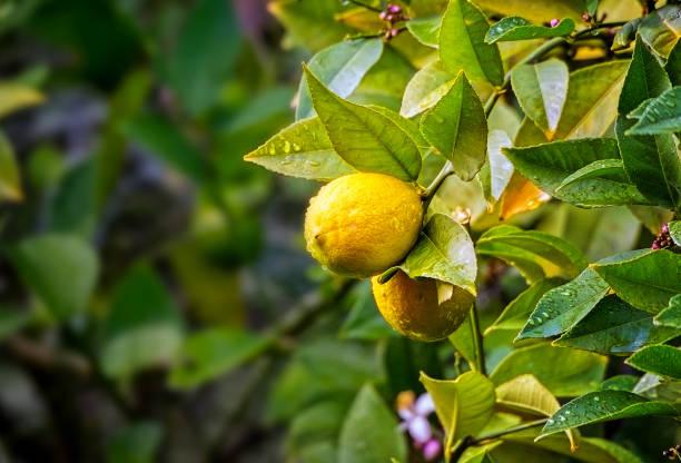 Lemons Growing stock photo