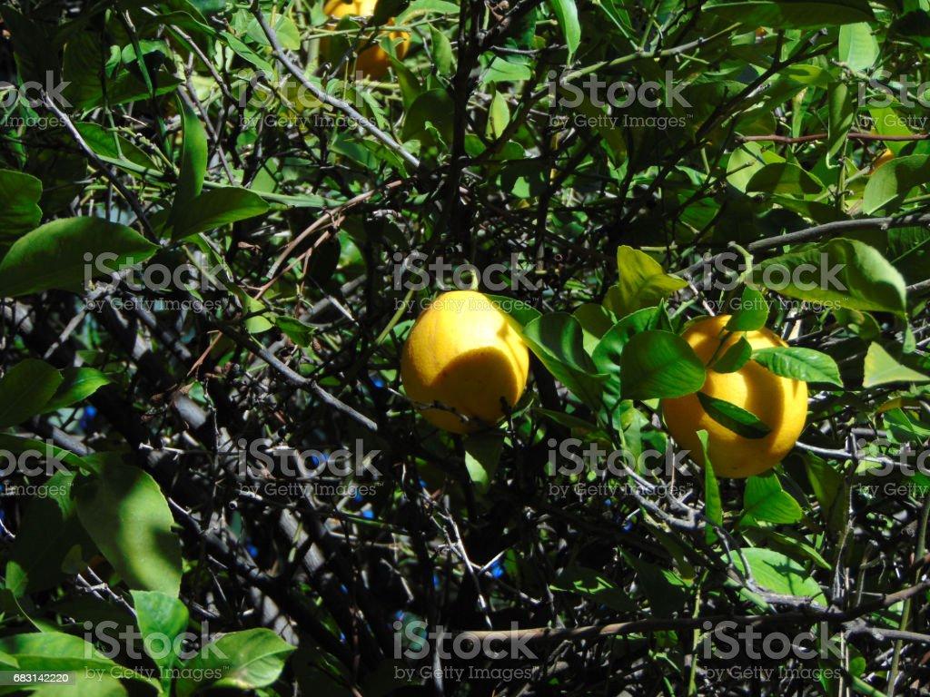 Lemons in the Tree 免版稅 stock photo