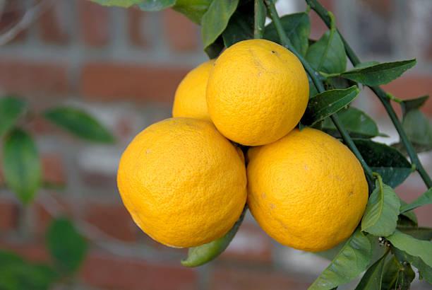 Lemons on a lemon tree. stock photo