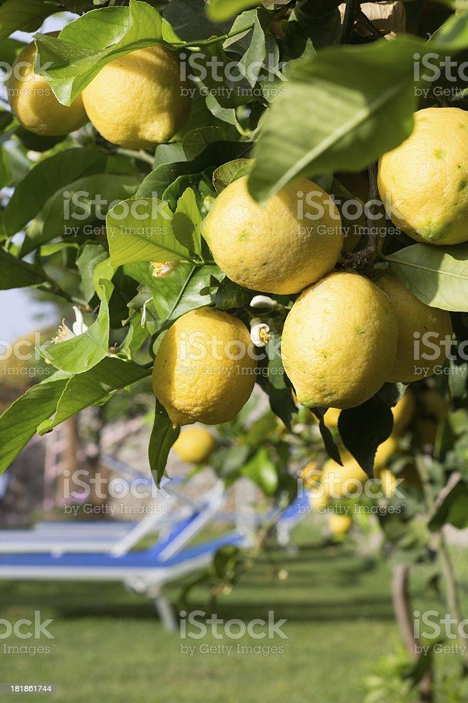 Lemons on Amalfi Coast, Italy royalty-free stock photo