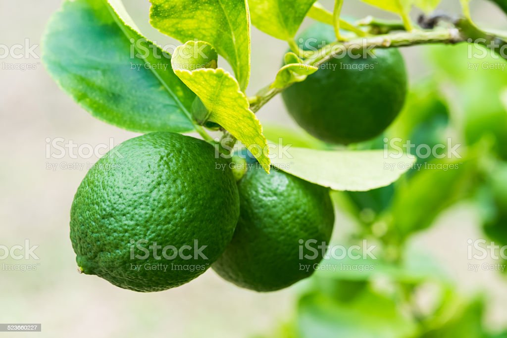 lemons on tree stock photo