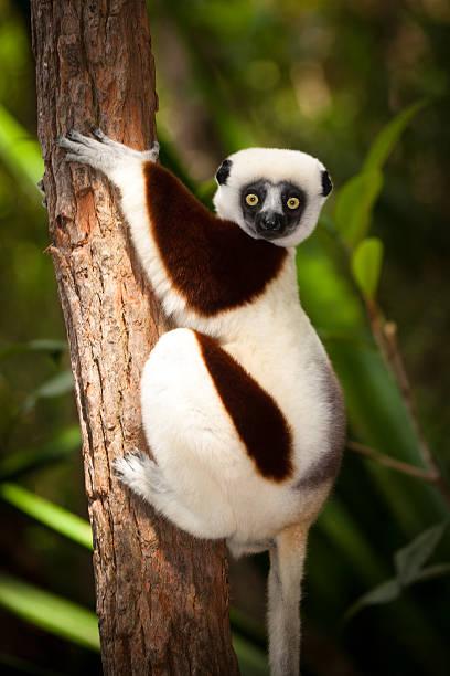 lemour in a tree - lemur bildbanksfoton och bilder