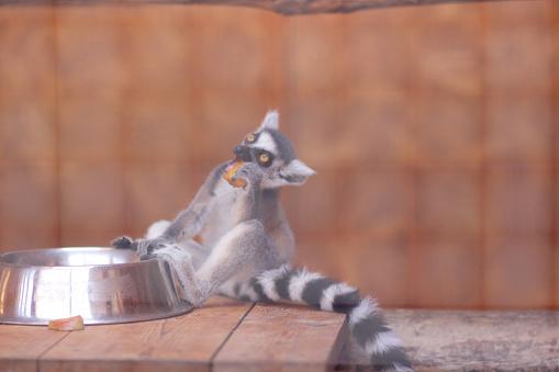 Lemur A Lemur Eats In A Cage A Funny Beast A Zoo Animal ...