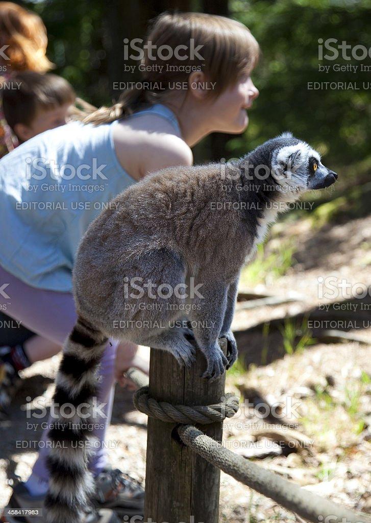 Lemur and girl posing stock photo