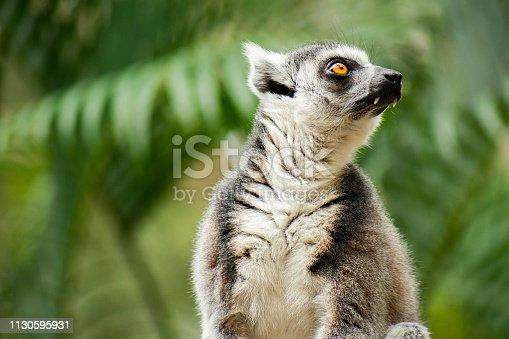 istock Lemur by itself amongst nature. 1130595931