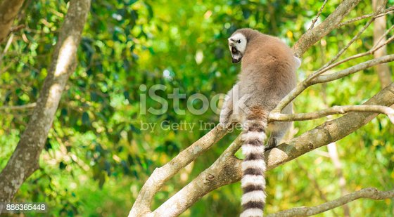 istock Lemur by itself in a tree during the day. 886365448