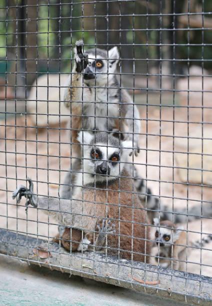 lémur catta dans une cage. - cage animal nuit photos et images de collection
