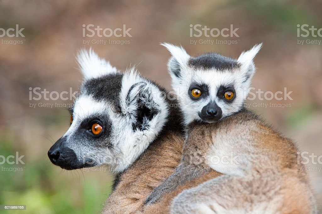 Lemur Catta Mother and Son stock photo