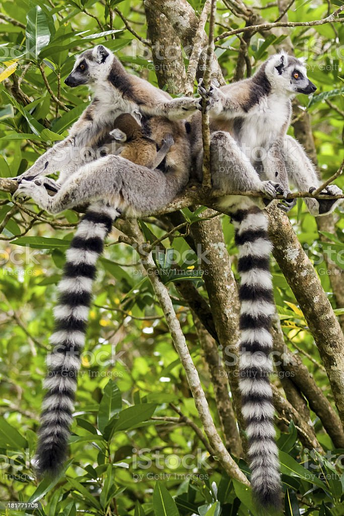 Lemur catta of Madagascar royalty-free stock photo