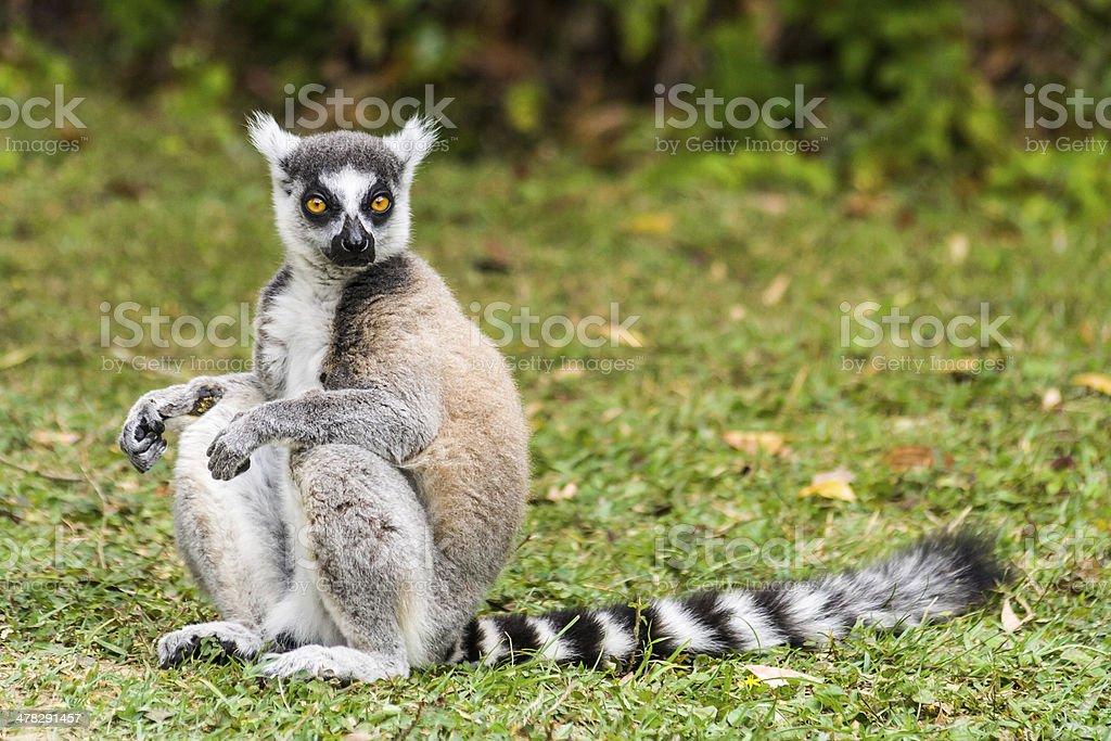 Lemur catta of Madagascar royalty-free stock photo