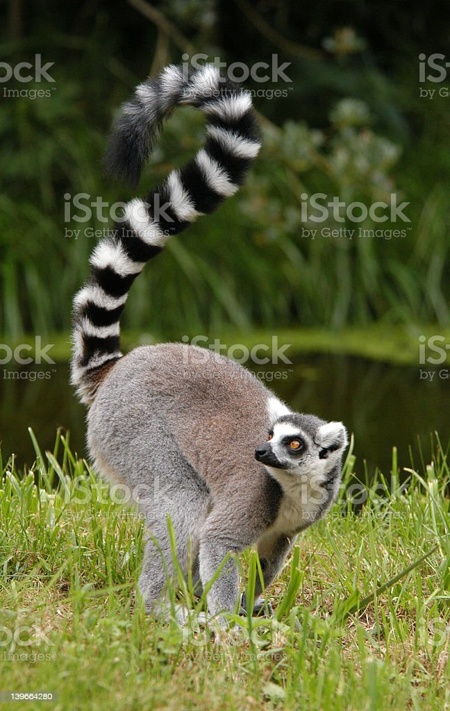 Lemur catta stock photo