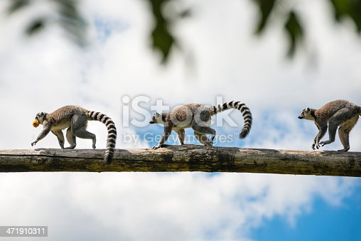 3 ring-tailed lemurs running in a row over a branch