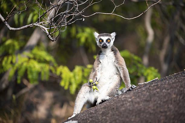 lemur catta relaxing - lemur bildbanksfoton och bilder
