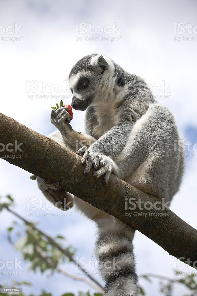 Lemur eating a strawberry royalty-free stock photo
