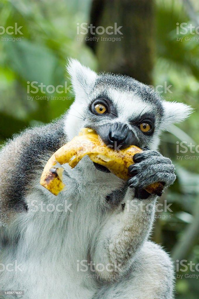 lemur eating banana royalty-free stock photo
