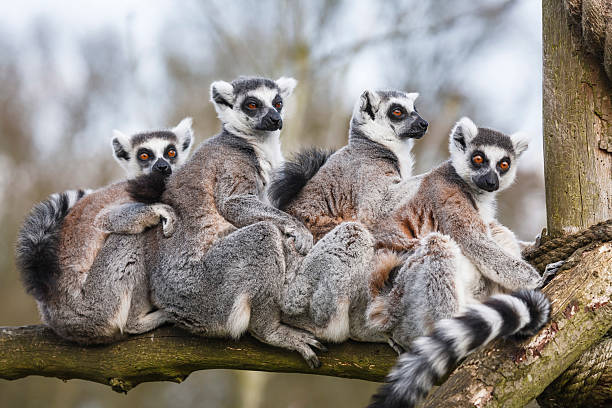 Lemur family sitting together in tree trunk A family of ring-tailed Madagascan lemurs cuddle up in a zoo enclosureSimilar images from my portfolio: animal family stock pictures, royalty-free photos & images