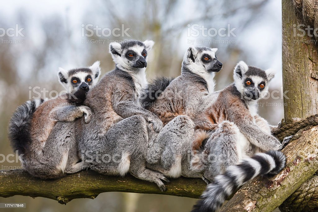 Lemur family sitting together in tree trunk stock photo