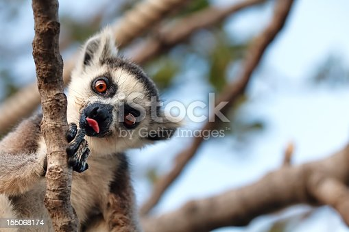 Ring tailed lemur (scientific name: Lemur catta) showing tongue. [url=file_closeup.php?id=17736080][img]file_thumbview_approve.php?size=1&id=17736080[/img][/url] [url=file_closeup.php?id=841731][img]file_thumbview_approve.php?size=1&id=841731[/img][/url]