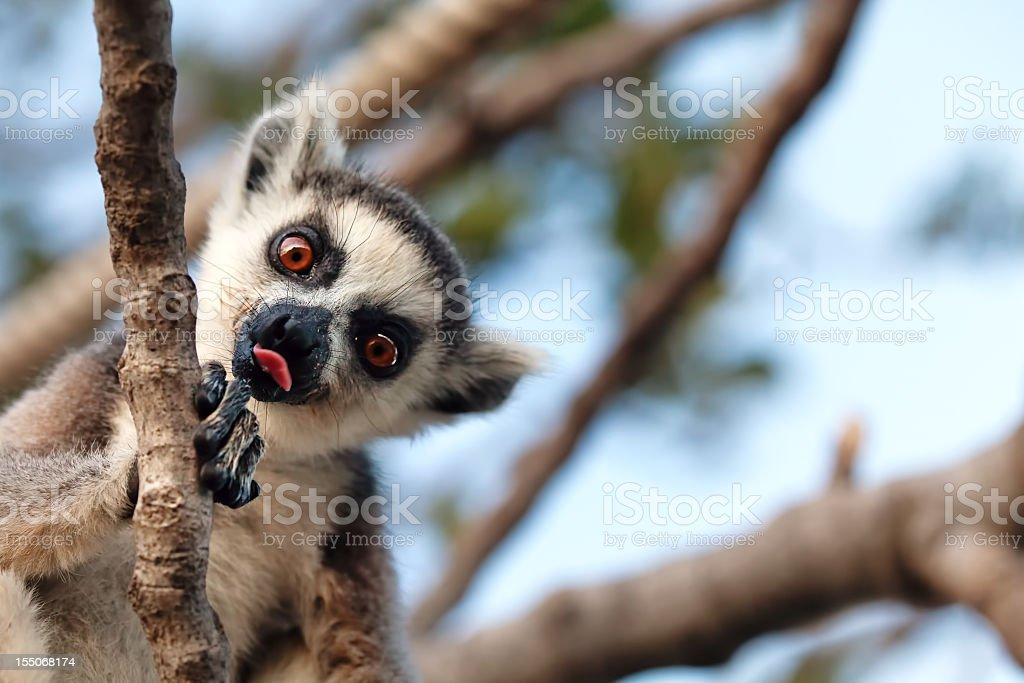 A lemur in a tree sticking its tongue out stock photo