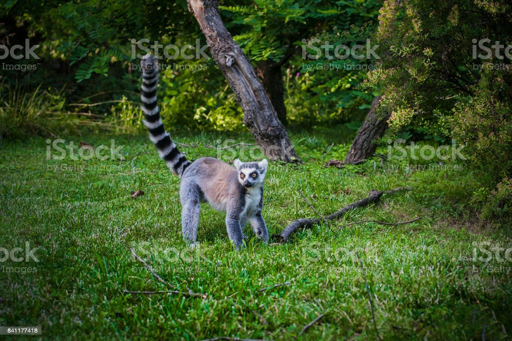 Lemur in forest with long striped tail. stock photo