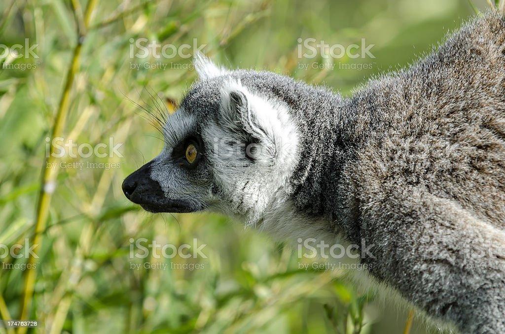 Lemur  in profile royalty-free stock photo