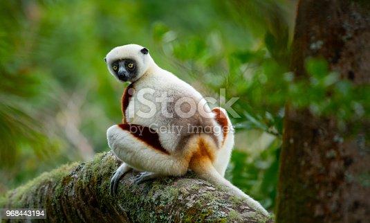 Striped lemur is looking at close range. Madagascar.